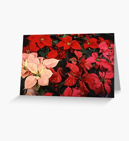 Crimson Red Poinsettia Christmas Holiday Flowers Greeting Card