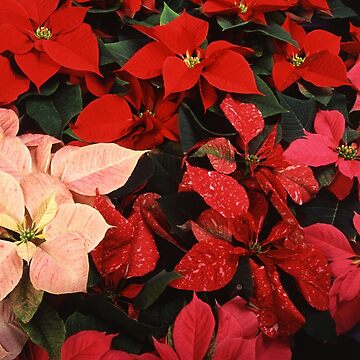 Crimson Red Poinsettia Christmas Holiday Flowers by taiche