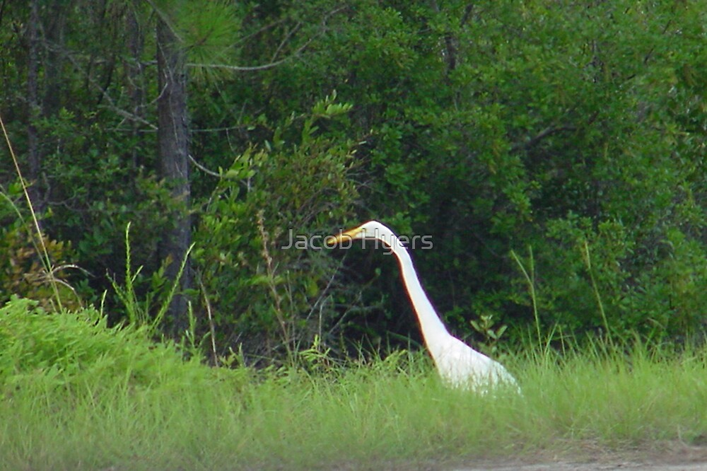 Great Egret by Jacob Hyers