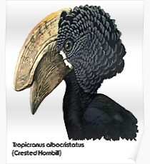 Crested Hornbill Bird Handsome Bill and Feathers Poster