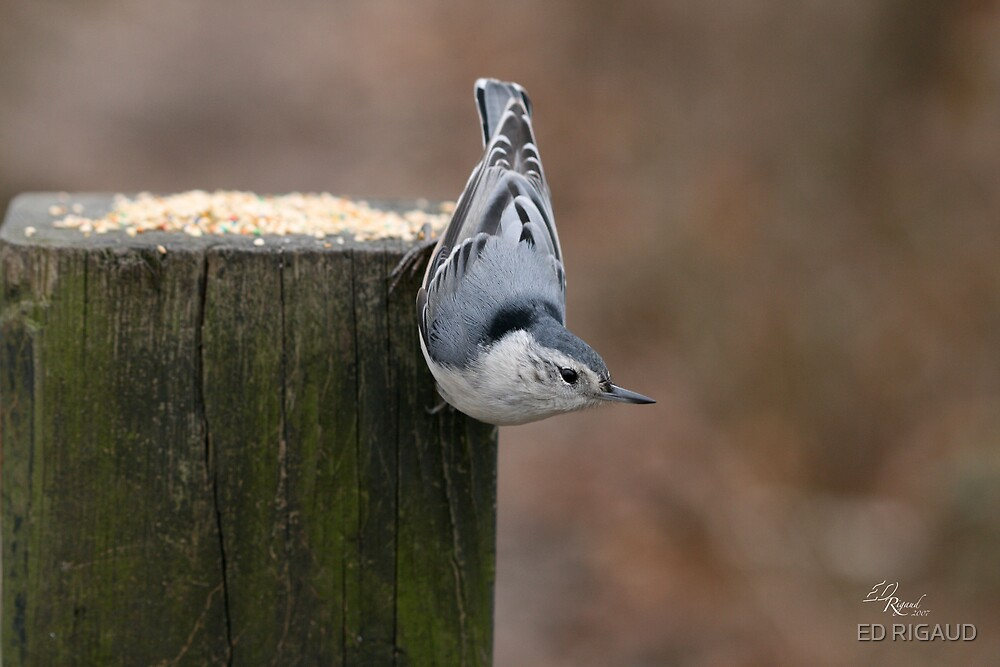 white Breasted Nuthatch by ED RIGAUD