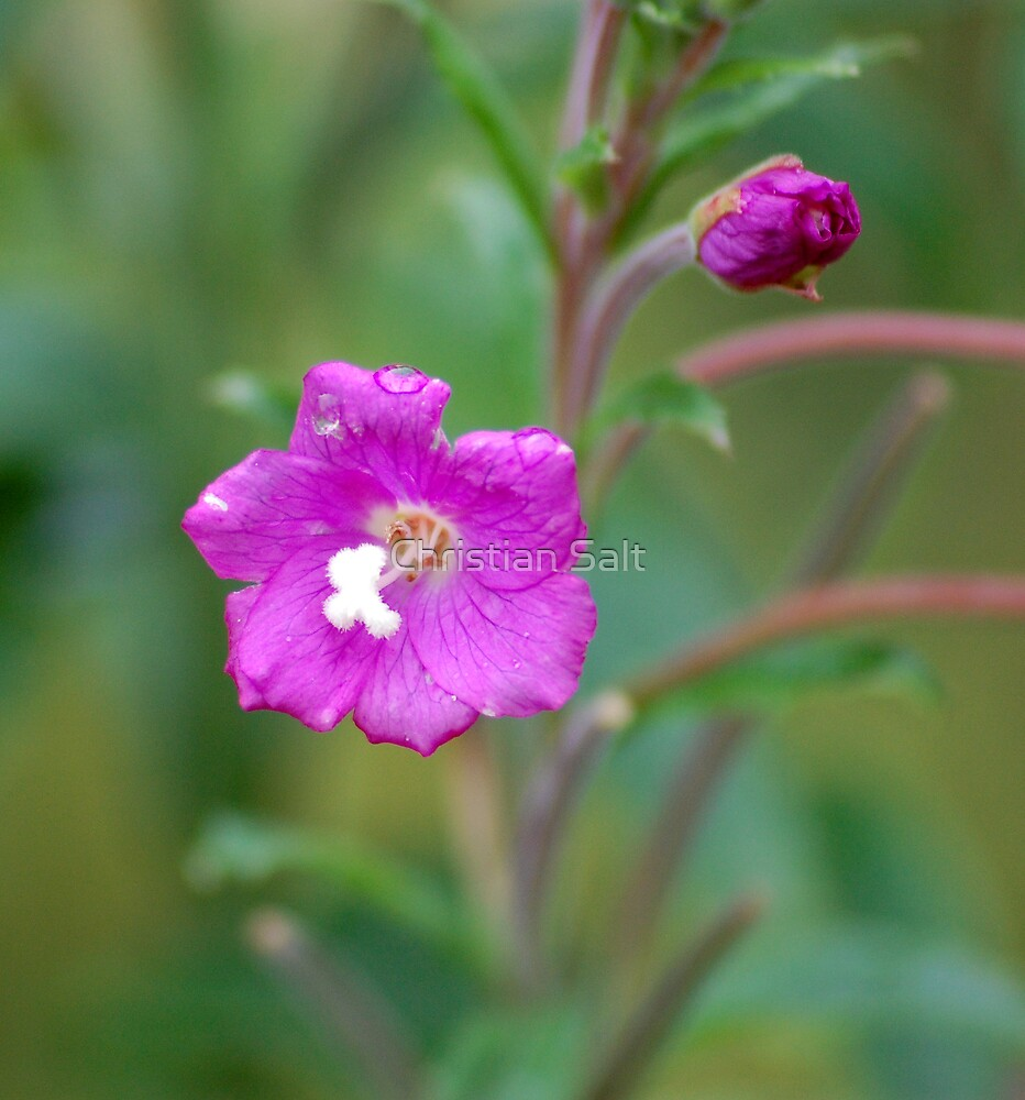 Wildflower by Christian Salt