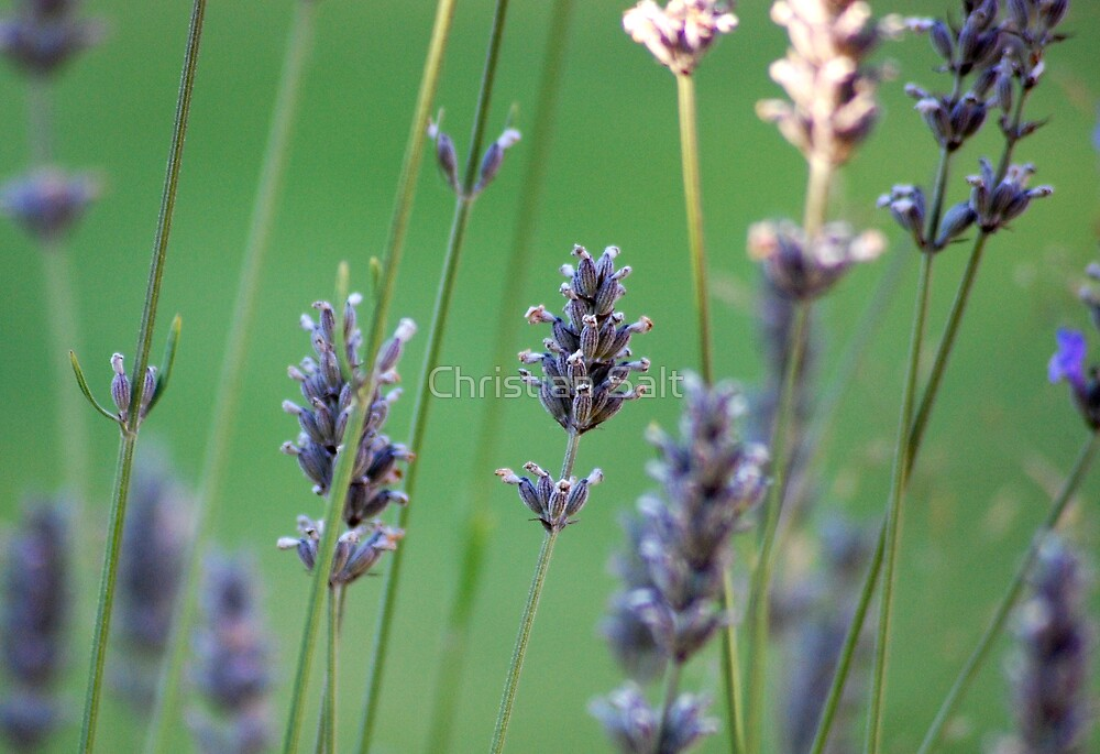 Lavender by Christian Salt