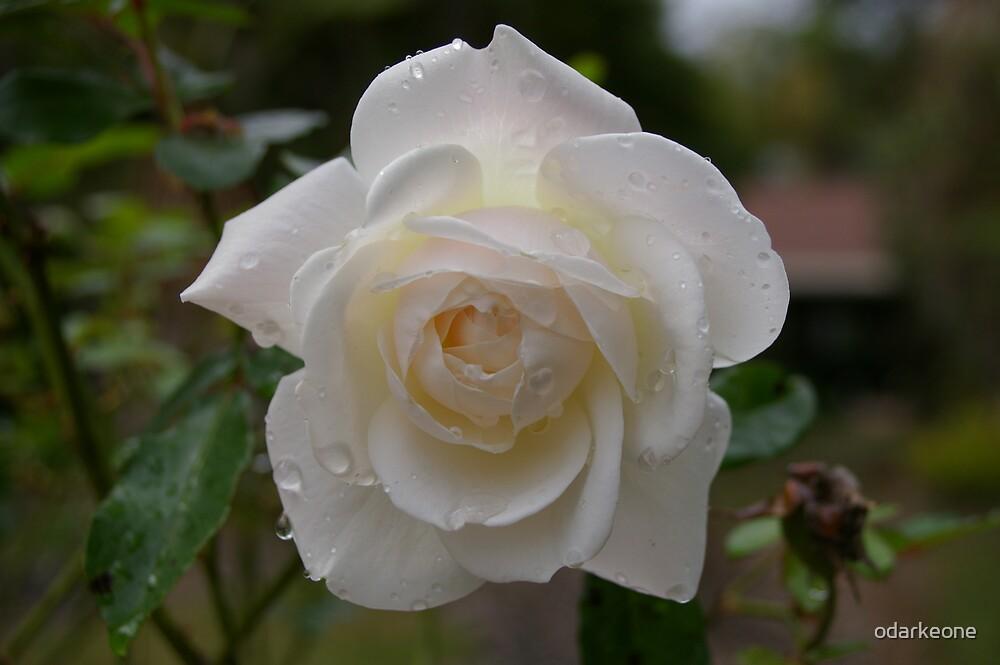 White Rose by odarkeone