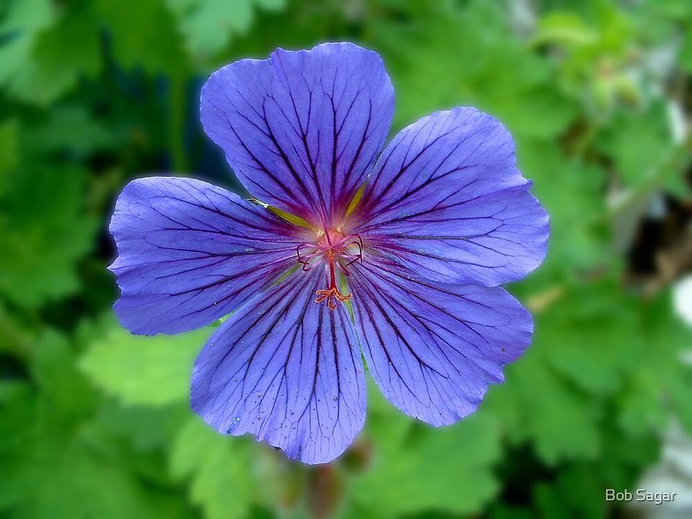 Geranium Magnificum#2 by Bob Sagar