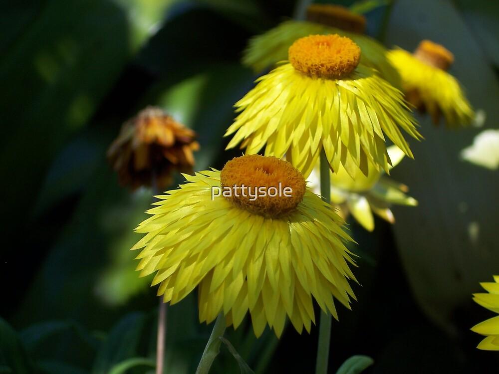 strawflowers by pattysole