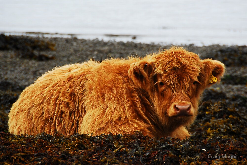 Highland calf by Craig Maguire