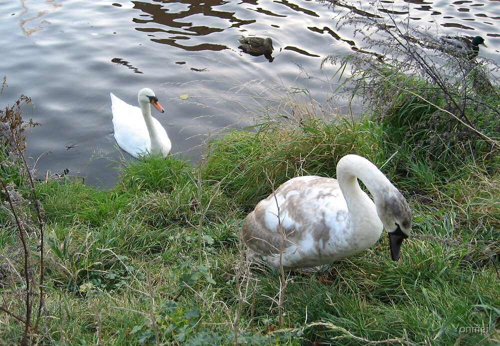 Older swan watches young swan climb by Yonmei