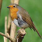 Robin by jesika