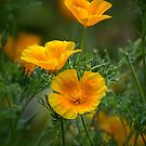 Trio of Coastal California Poppies by Celeste Mookherjee