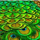 Peacock Feathers by Dave  Knowles