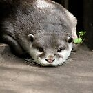 Short-Clawed Otter by Dorothy Thomson