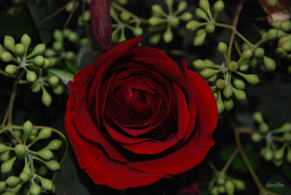 a red rose hiding in plain site by deville