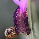 Bee On Lavender by Chet  King