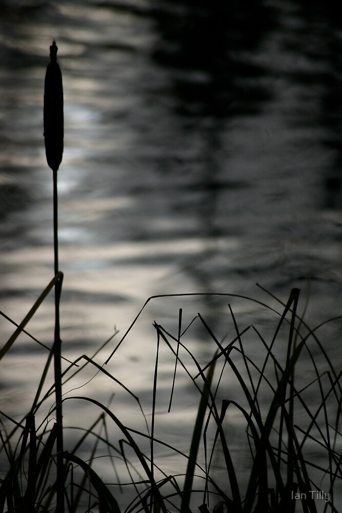 Bullrushes by Ian Tilly