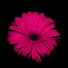 Pink  Gerbera.... on black... by Linda Bianic