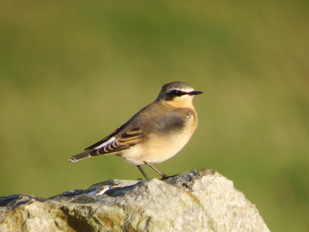 Greenland Wheatear by Monster