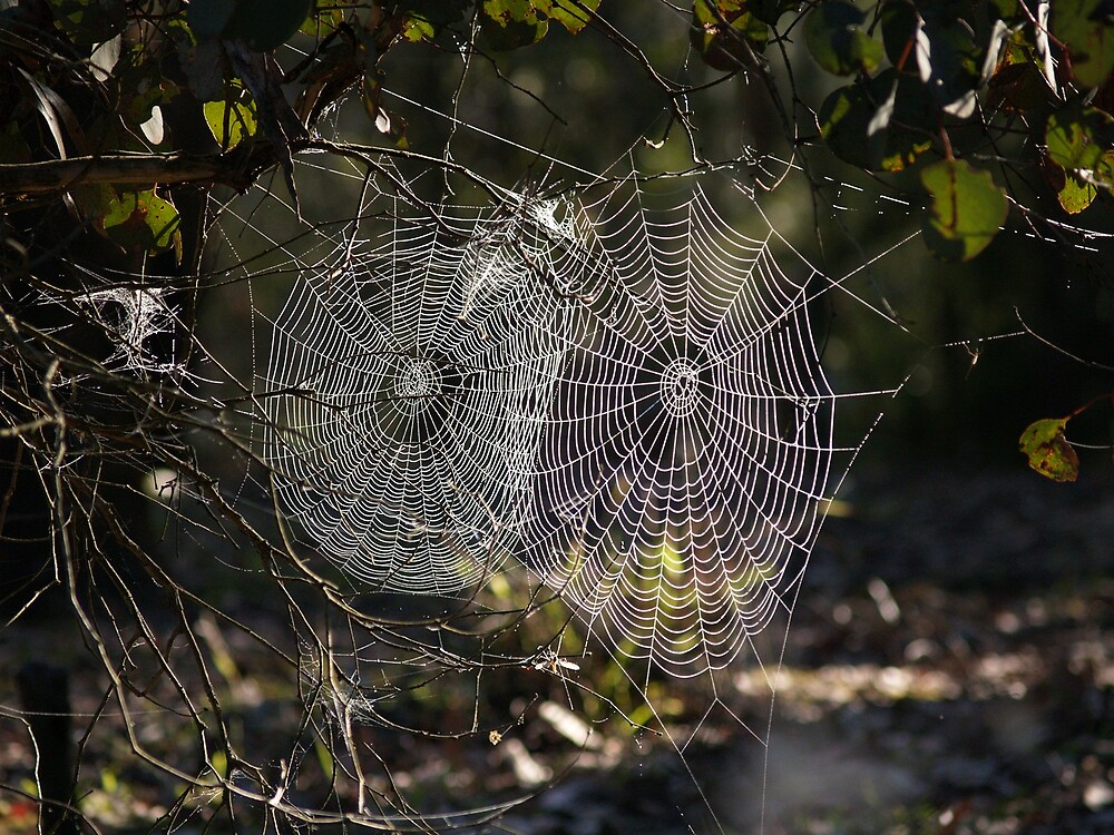 Web at dawn by Alwyn Hanson