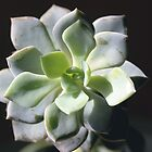 Succulent in Focus by Kimmarie1991