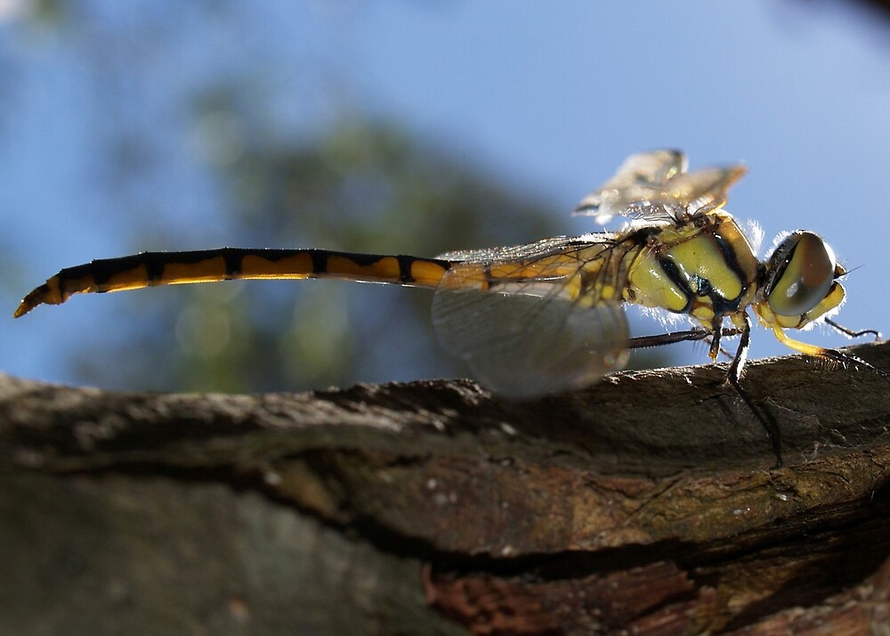 Dragonfly in profile by Alwyn Hanson