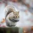 Grey Squirrel by Lynn Starner