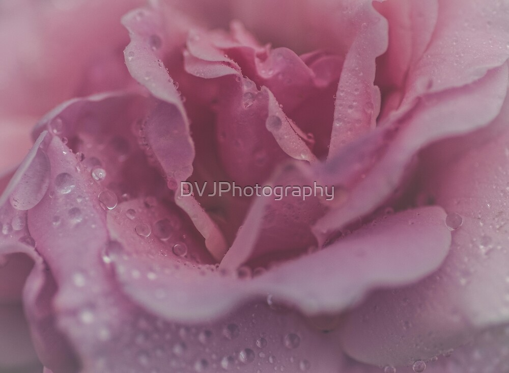 Pink Rose by DVJPhotography