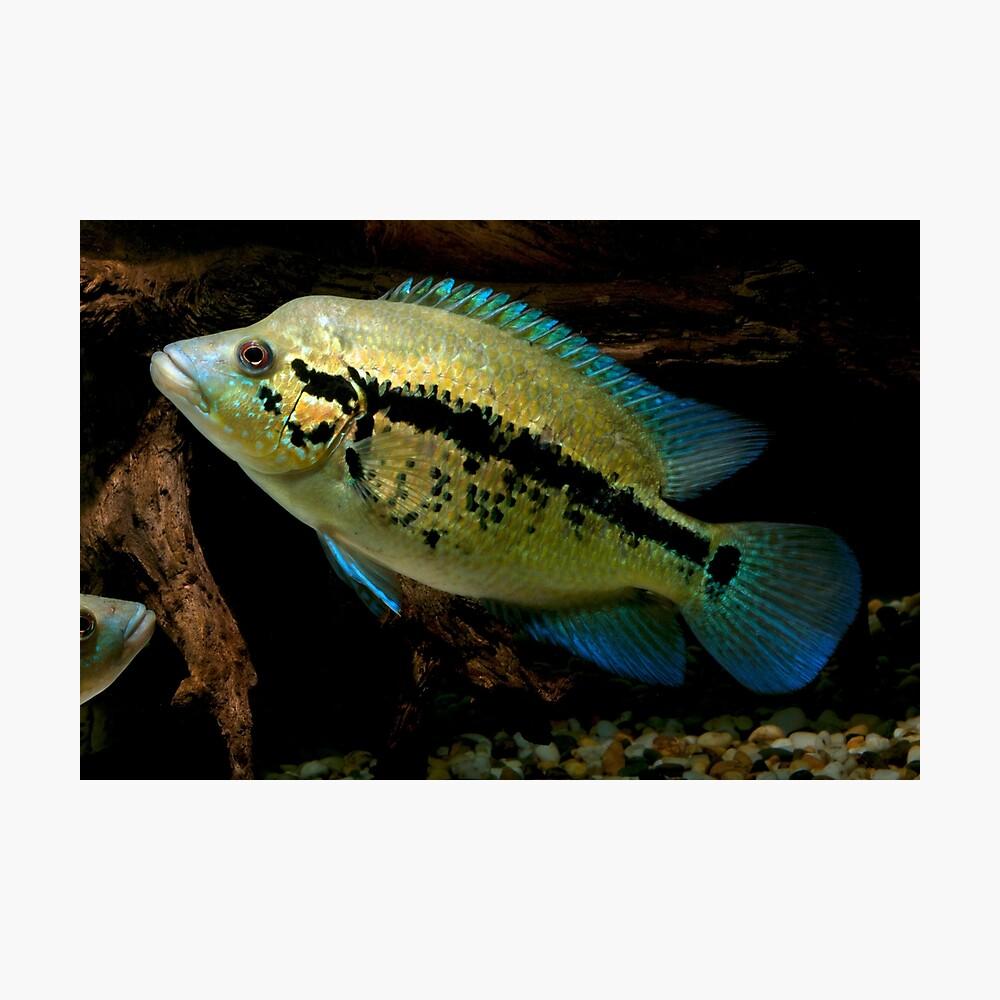 Wolf Cichlid Parachromis Dovii Female Photographic Print By