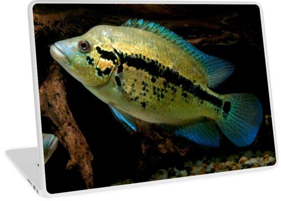 Wolf Cichlid Parachromis Dovii Female Laptop Skins By Bidkev1