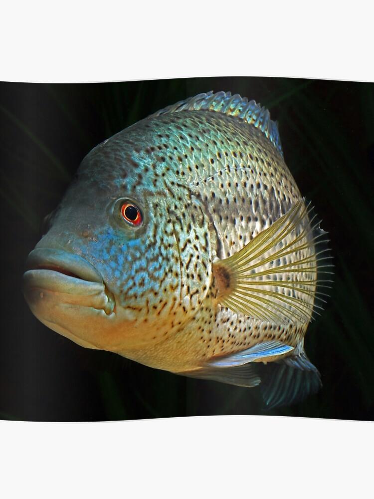 Wolf Cichlid Parachromis Dovii Male Poster By Bidkev1 Redbubble
