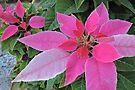 Pink Poinsettia by Graeme  Hyde
