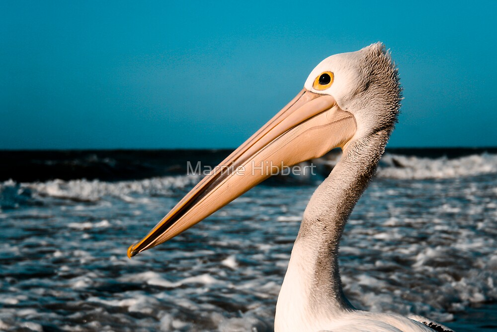 Pelican Portrait by Marnie Hibbert