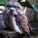 Tawny Frog Mouth by TimC
