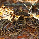 Eastern Diamond Back Rattle Snake by Terry Best