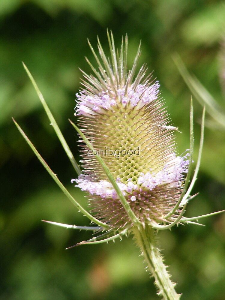 Thistle by ronibgood