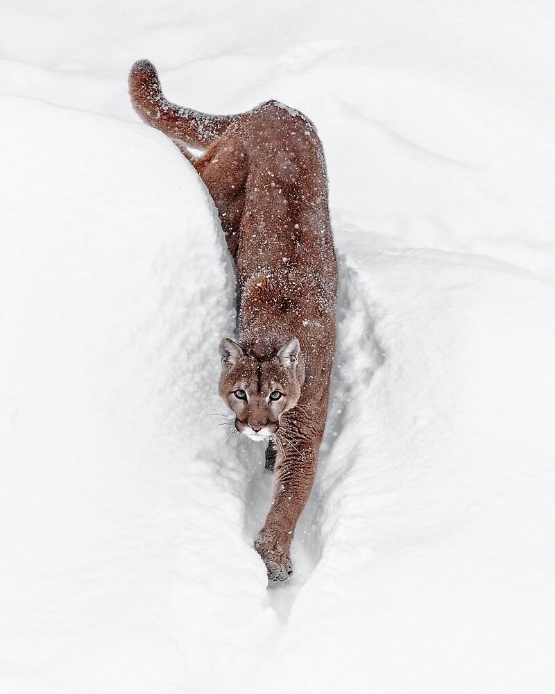 Deep Snow Cougar by WesDotPhotos