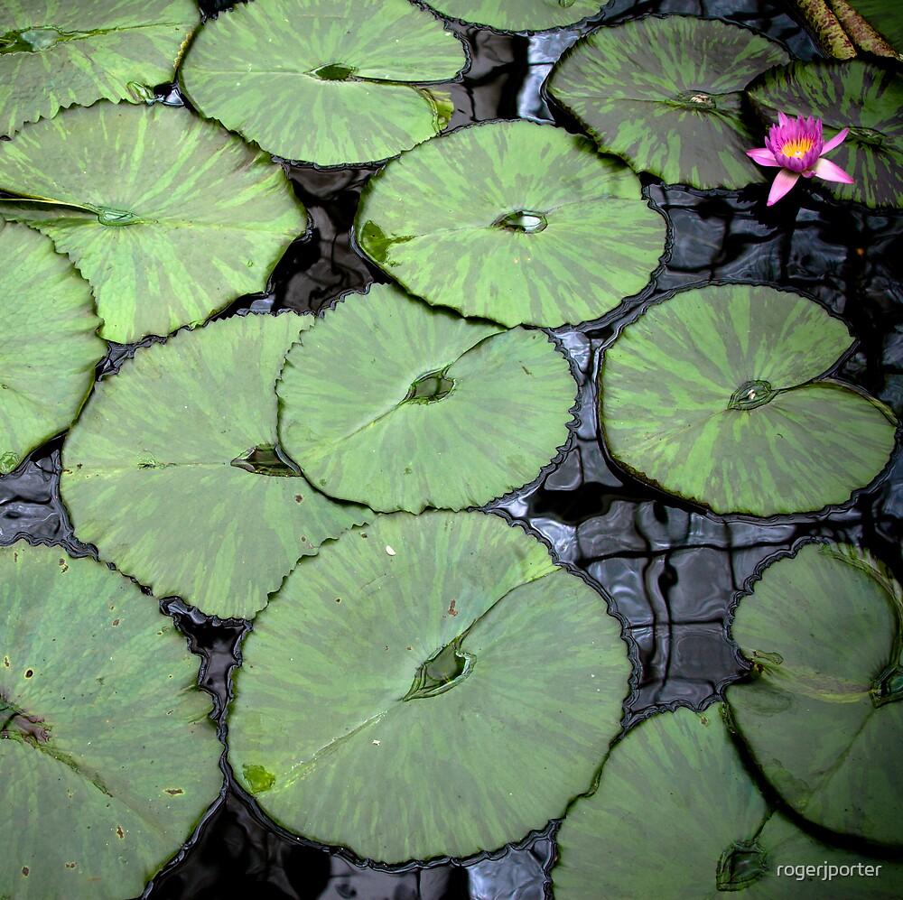Water Lily by rogerjporter