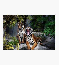 tiger, screaming tiger Photographic Print