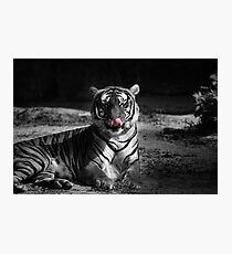 tiger, black and white Photographic Print