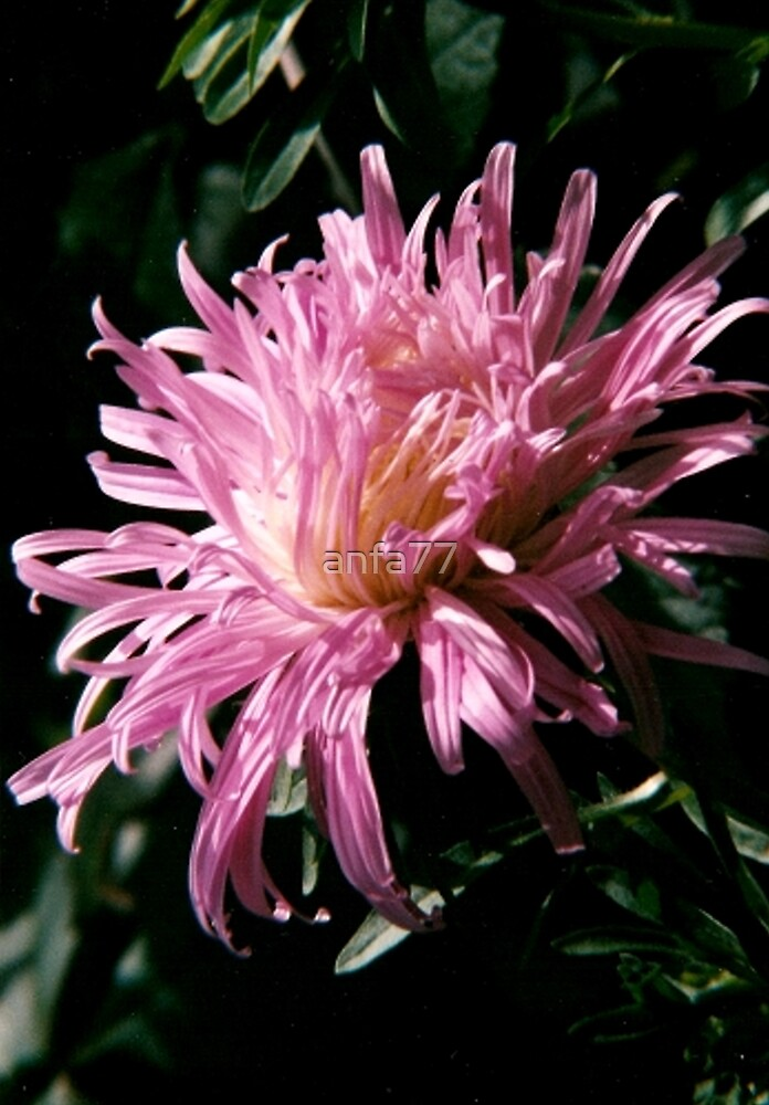 pink flower by anfa77