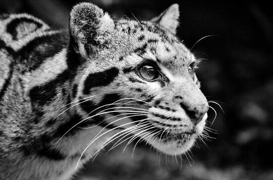 Clouded Leopard 1 - B&W by SusiBradley