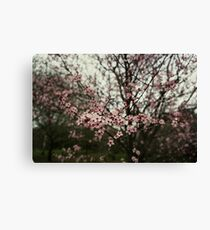 Faded pink blossom Canvas Print