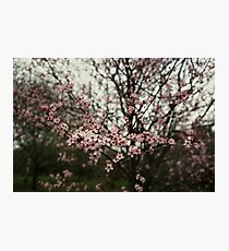 Faded pink blossom Photographic Print