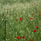 Seed Head With A Beautiful Blur of Poppies Background  by taiche