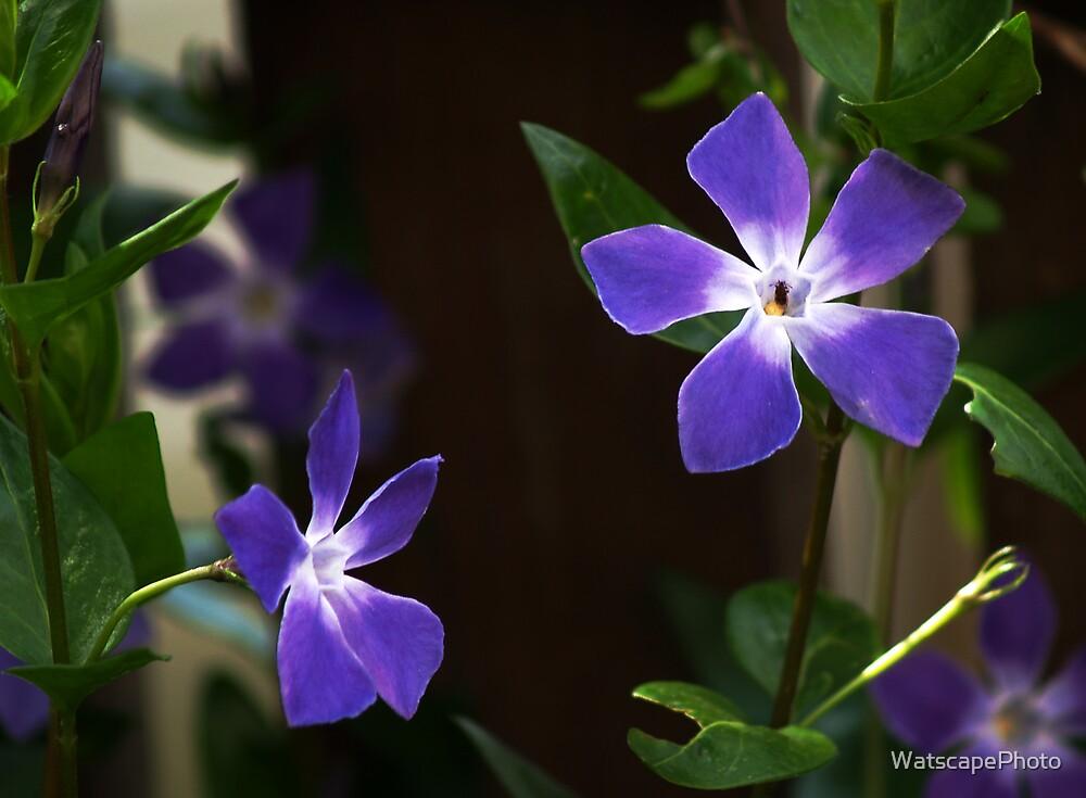 Vinca by WatscapePhoto