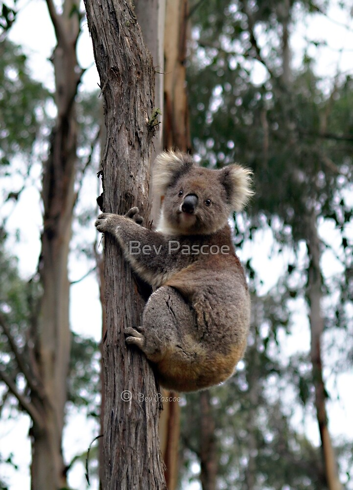 Koala on tree in Otway Ranges by Bev Pascoe
