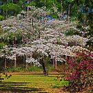 The Dogwood Tree by TJ Baccari Photography