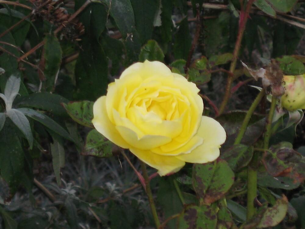 A single yellow rose by Deirdre Banda