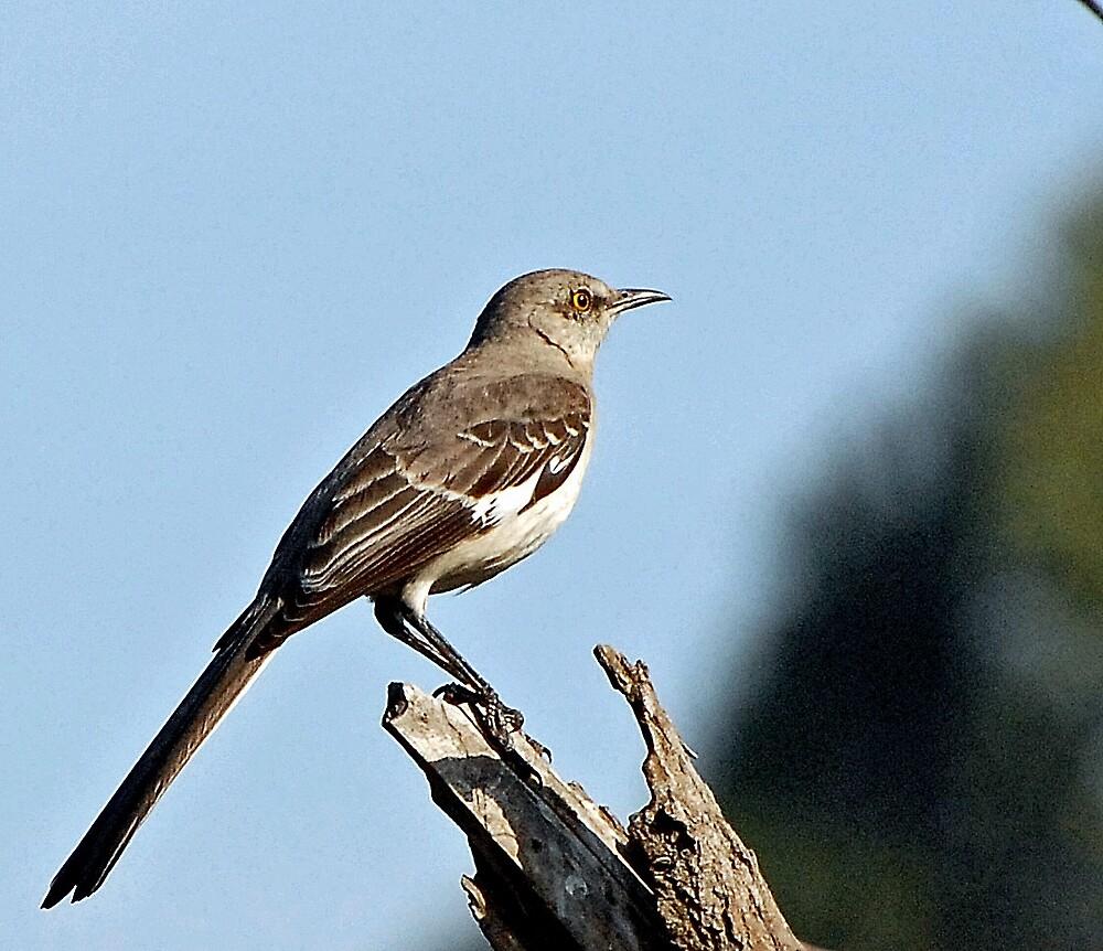 Mockingbird by raptrlvr