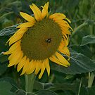 Summer Sunflower by ahedges