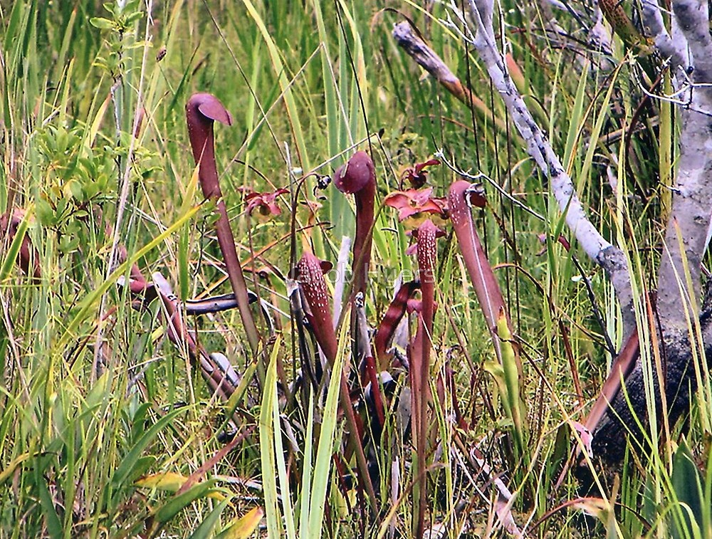 Rare Pitcher plants,  by Jacob Hyers